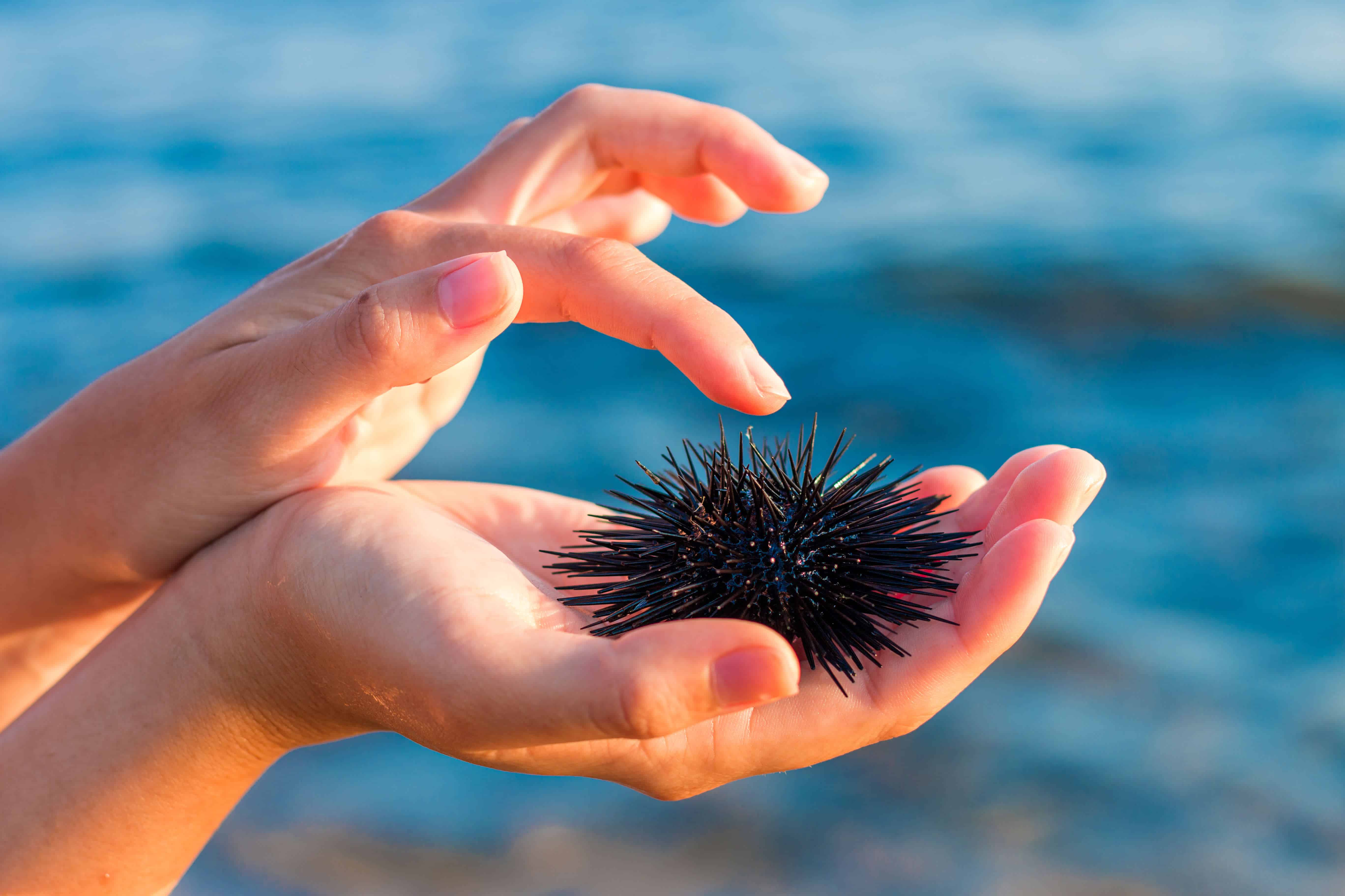 Sea urchin in woman's hand. Stock Photo