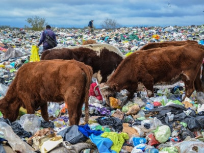 cows on landfill