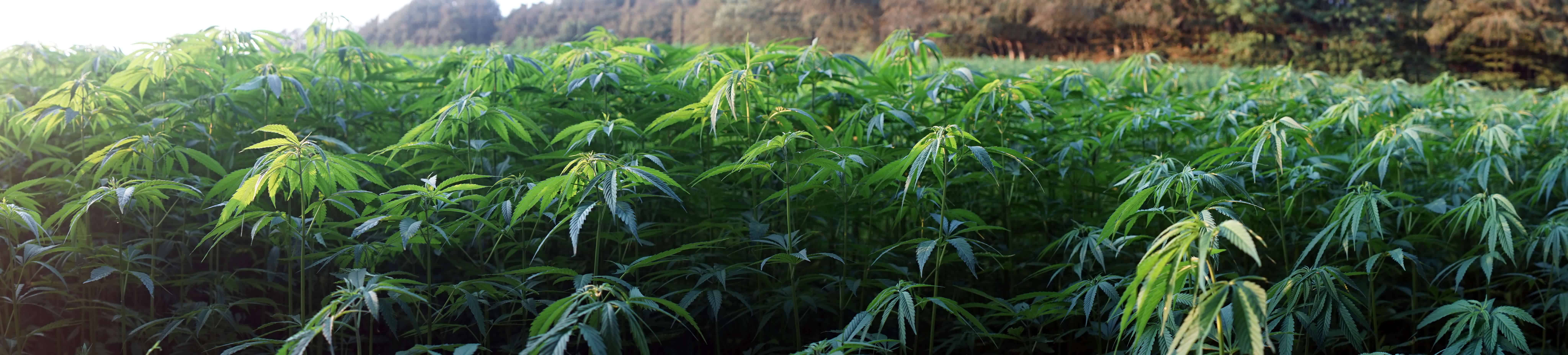 hemp CDB Cannabis THC
