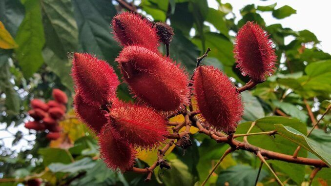 Annatto Color Certified Organic Frutarom