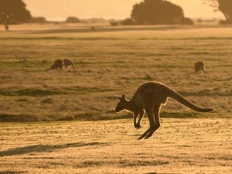 Kangaroo Viva!