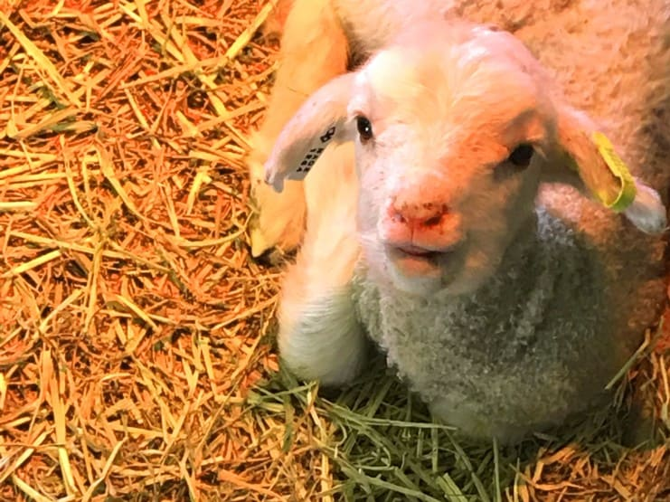Lucy the lamb Magic Valley