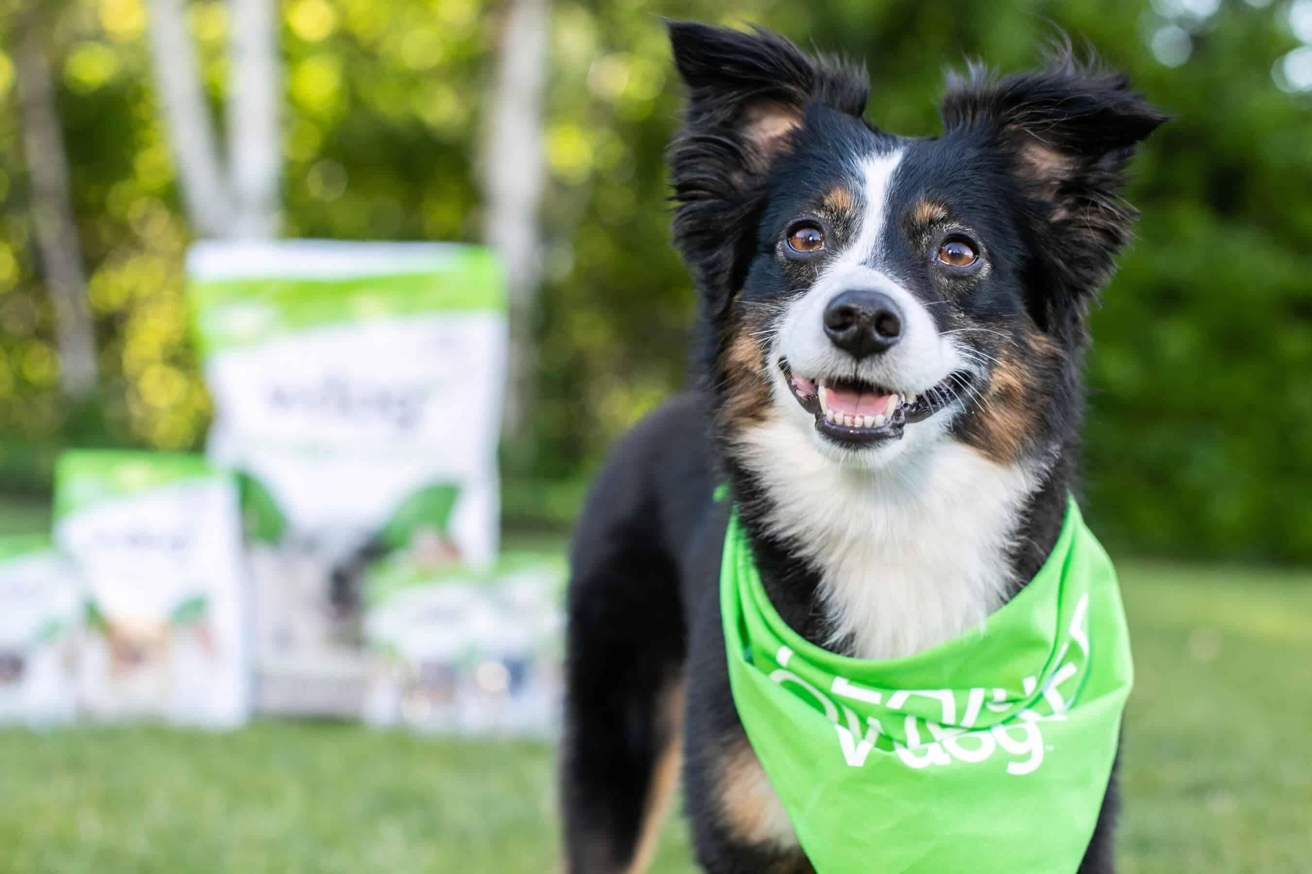 v-dog collie smiles