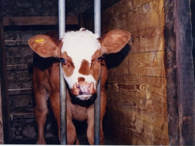 Veal Cow Compassion in World Farming