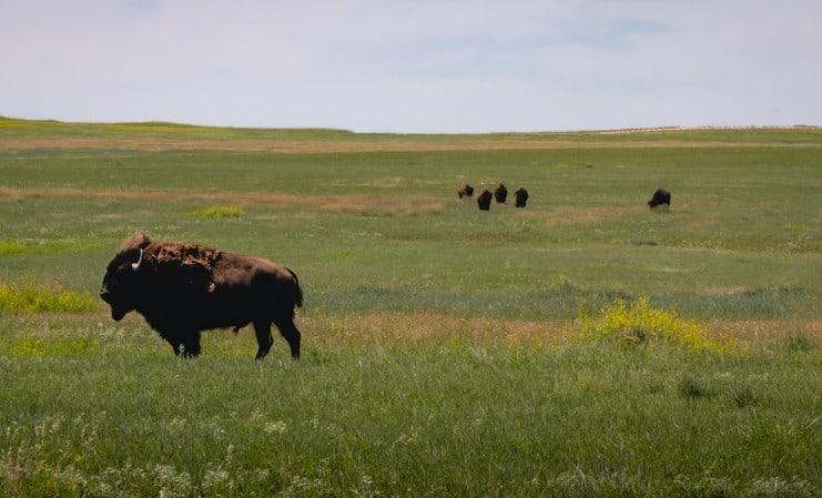 bison Orbillion