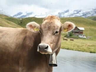 Braune Kuh auf einer Alm