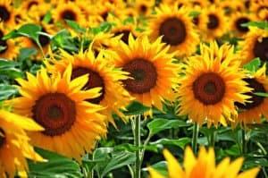 Hydrosol_AOT-Sunflowers