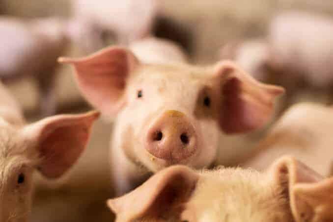 Schweine Fleisch Tierhaltung